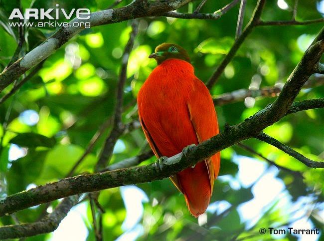 Tilopo naranja: Chrysoena victor
