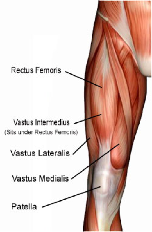 Three of the muscles originate from the body of the femur bone  they    Quadriceps Femoris