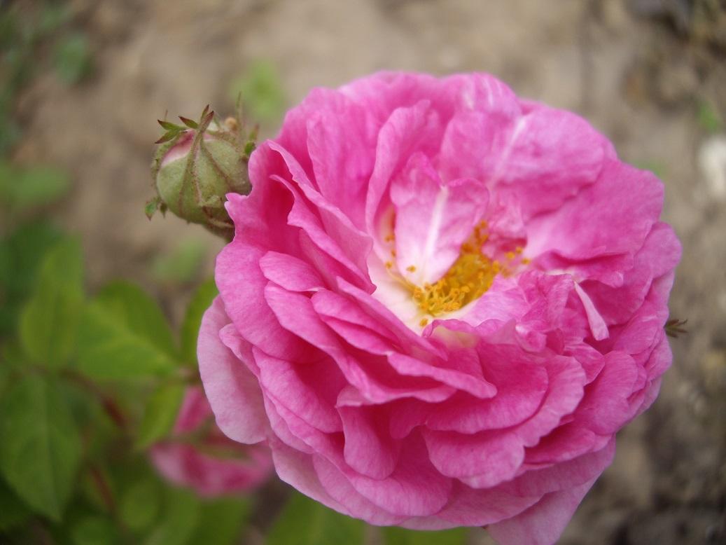 Derri re les murs de mon jardin overdose de roses 2 - Derriere les murs de mon jardin ...