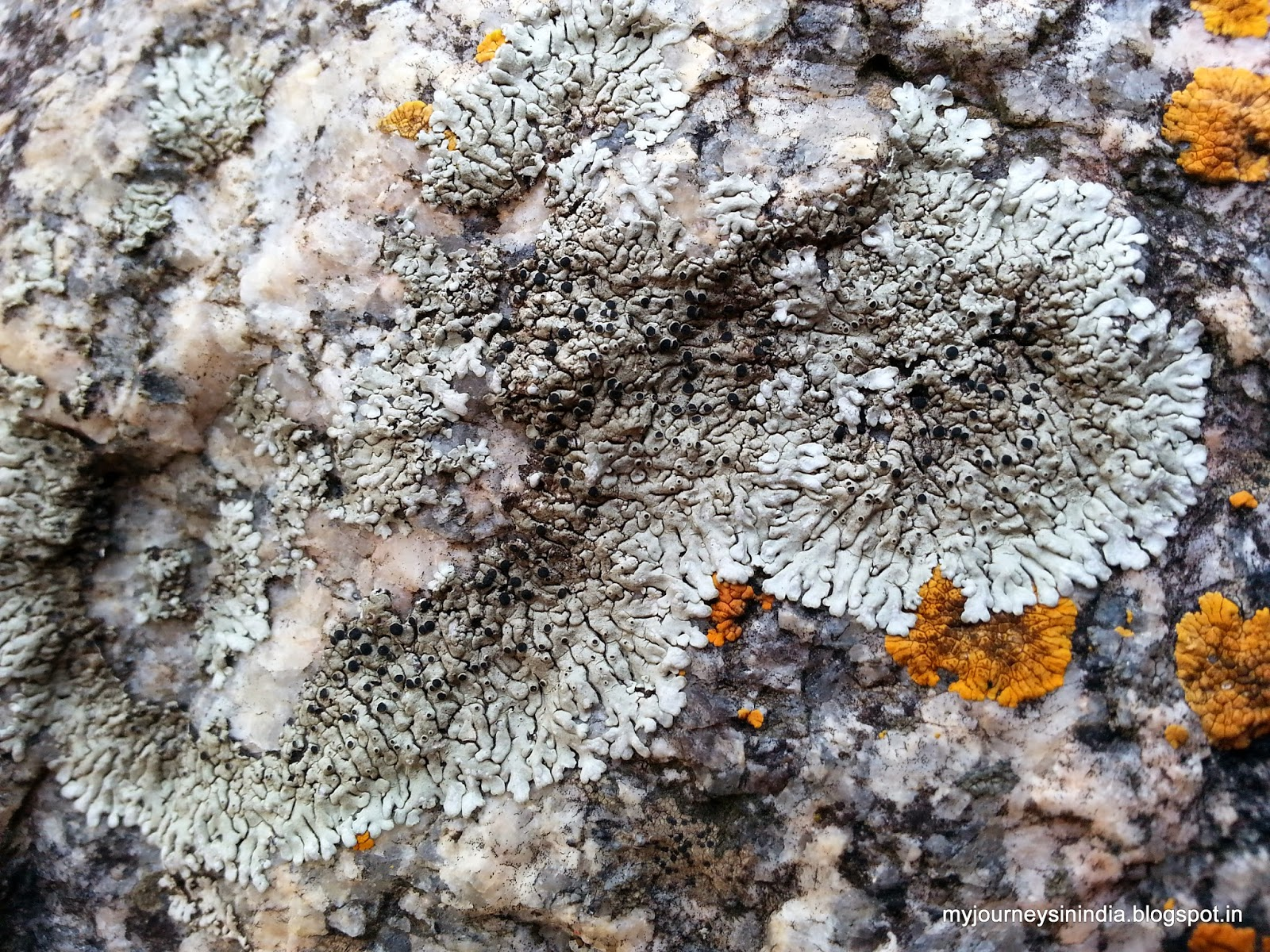 Lichens on rocks - Devarayanadurga