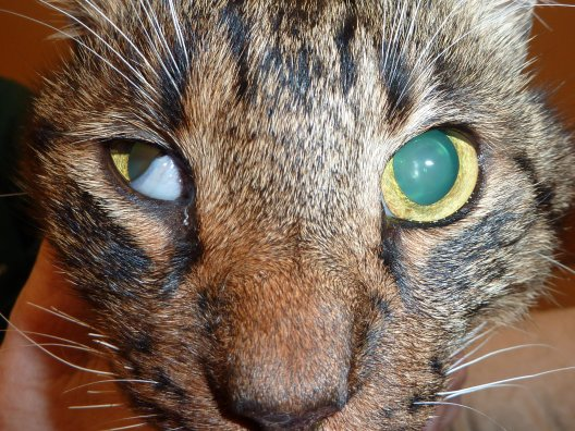 Causes Of Horner S Syndrome In Cats
