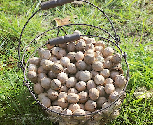 Hickory Nuts in Basket Photo by Tori Beveridge