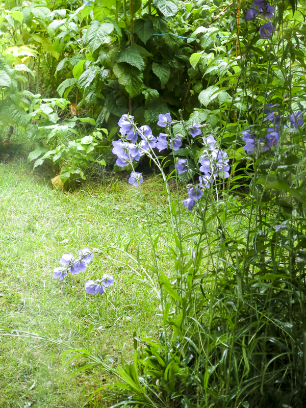 bluebells, blåklockor