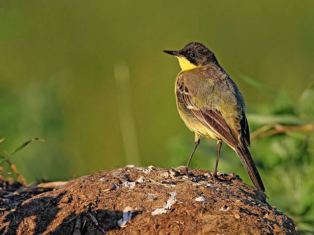 Yellow Wagtail photography in Bulgaria