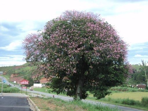 árvore da luma