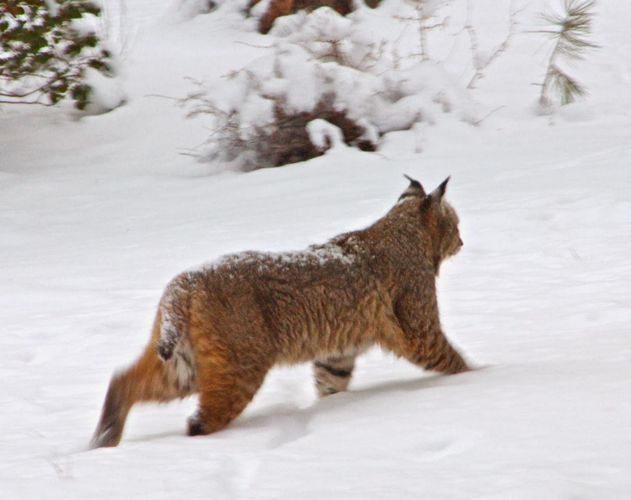 David and Diane Travel Blog: Bobcat (or maybe Lynx) comes ...