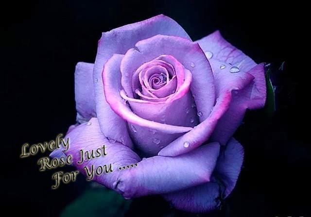nice purple rose