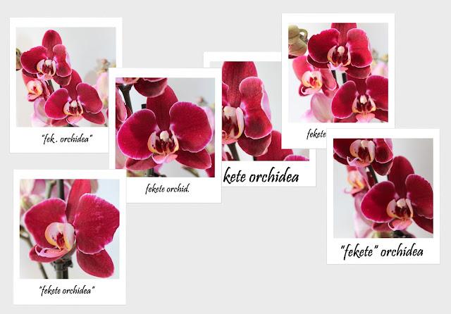 Phalaenopsis 'Elegant Deborah'