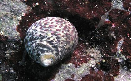 Peces y plantas ornamentales monodonta turbinata plagas for Peces marinos para acuarios pequenos