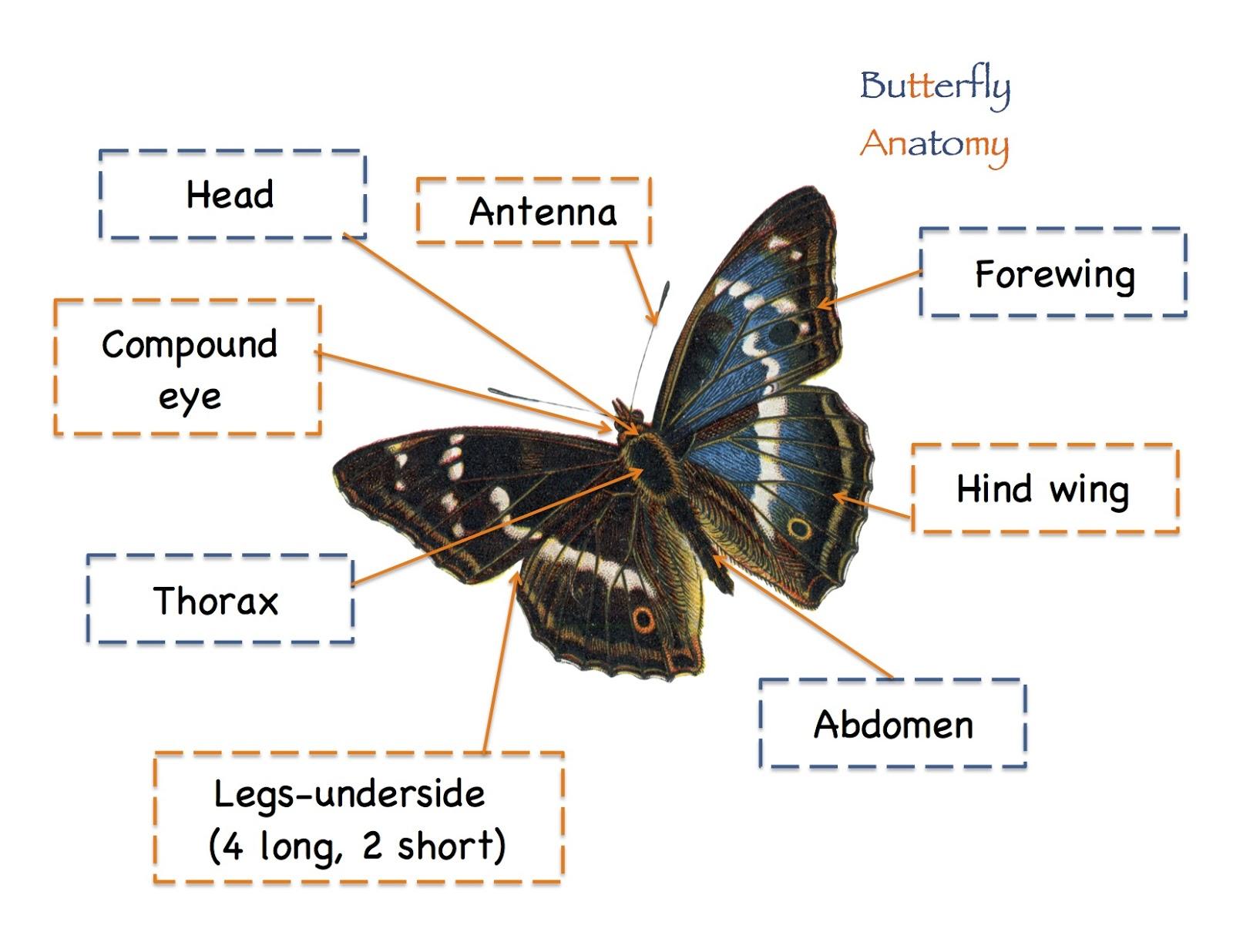Butterfly head anatomy