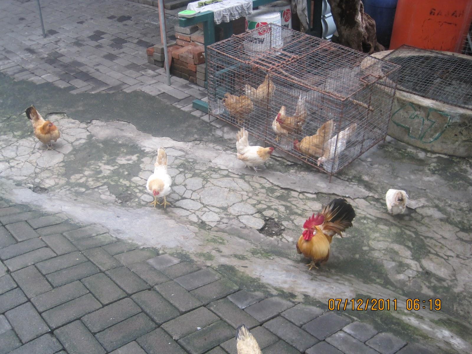 ternak ayam merah