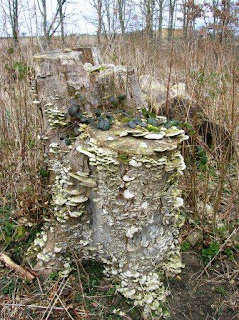 Tree stump fungi