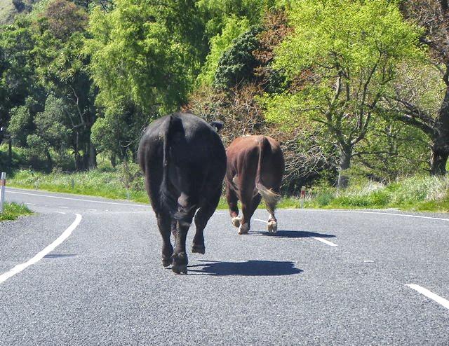 Toros en el camino