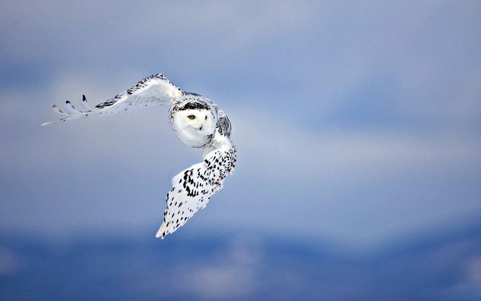 http://4.bp.blogspot.com/-M1fmapEzxO8/UPcmeWseiAI/AAAAAAAAzbY/KL_SxLIRTsM/s1600/Buho-o-lechuza-blanco-volando_Imagenes-de-Aves-Exoticas.jpg