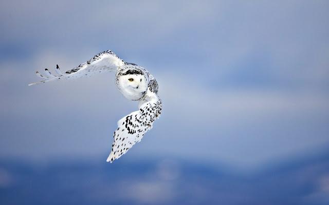 Búho Lechuza blanco volando aves exoticas