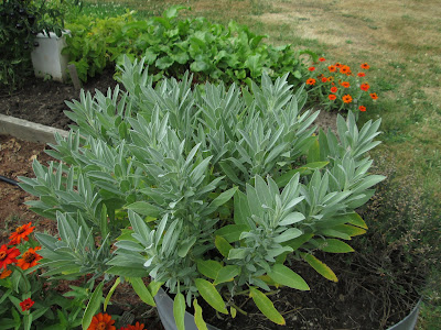 A sage plant in a garden