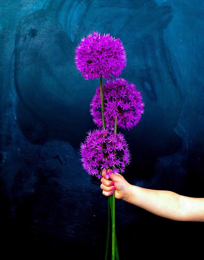 Prydløg - Allium