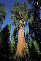 secuoya gigante - General Sherman