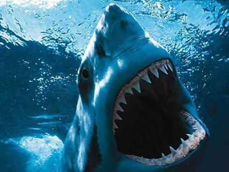 Great White shark South Australia