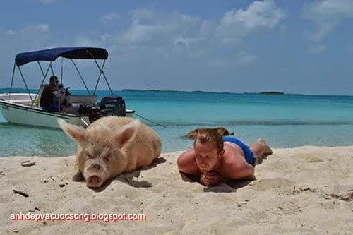 Đảo heo Big Major Spot – Bahamas 3