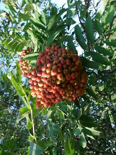 10 июля, гроздь поспевающей рябины
