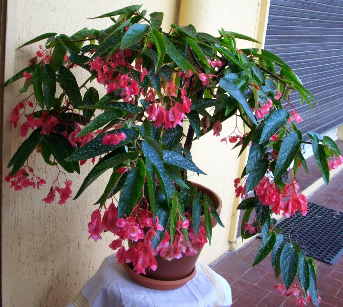 Giardinaggio laura ponte in valtellina tamaya begonia - Begonia argentata ...