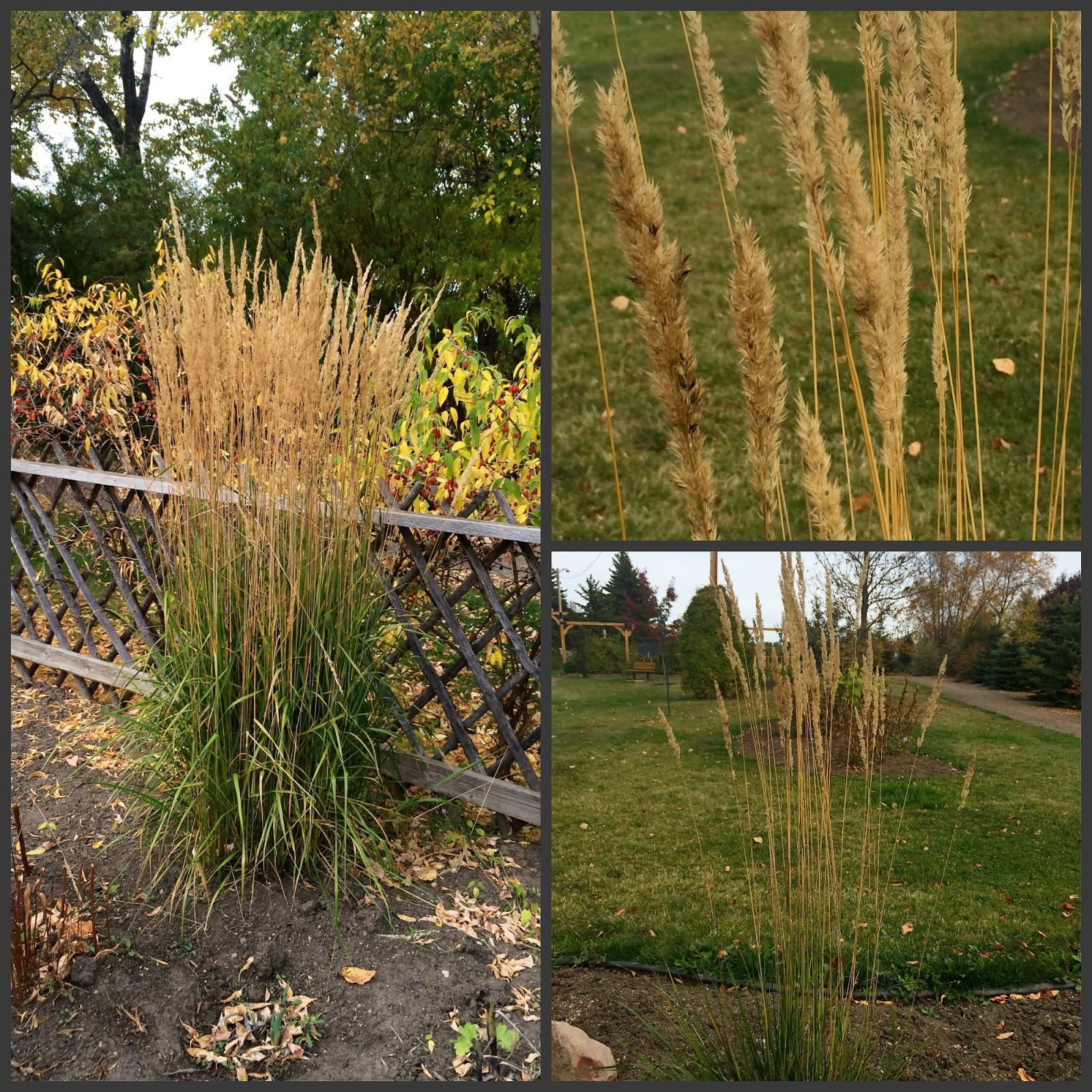 Genial This Grass Is So Popular, Itu0027s Sold Out Everywhere!!! Spotlight On Karl  Foerster Ornamental Grass