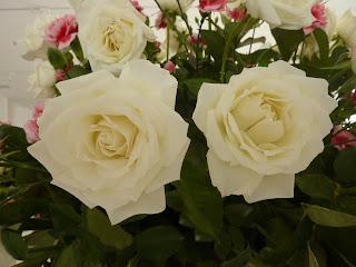 Rosas de Cuiabá