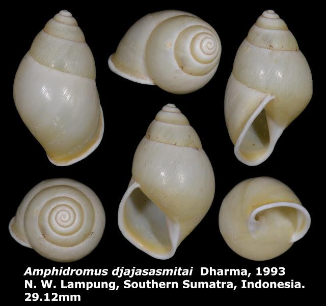 Amphidromus djajasasmitai 29.12mm