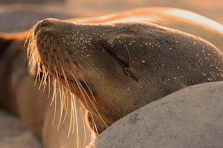 Sea Lion Rests Peacefully in the Galapagos Island sunshine