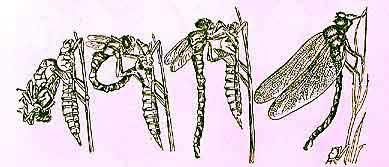 Схема размножения стрекозы  Teacher Essay