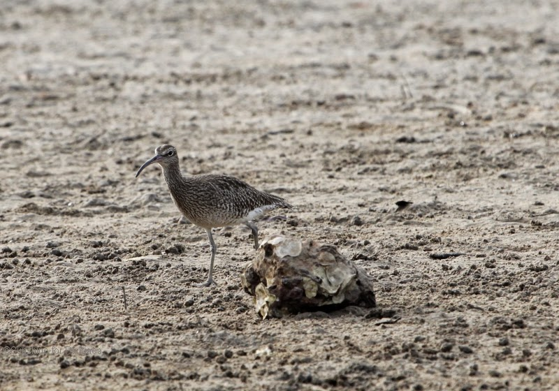 Whimbrel on a mudflat in the Gambia