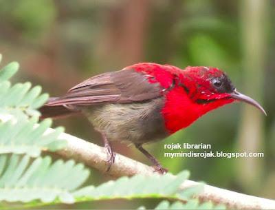 Crimson Sunbird (Botanic Gardens 4 July 2015