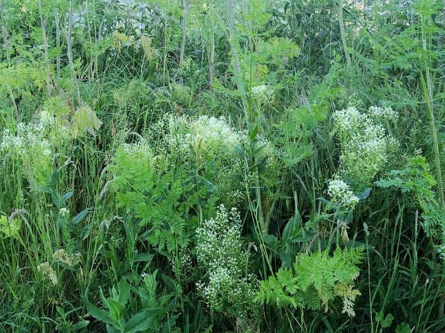 Short white umbellifers in grass with hemlock leaves