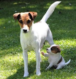 Parson Russell Terrier mit Welpe - markt.de Kleinanzeige