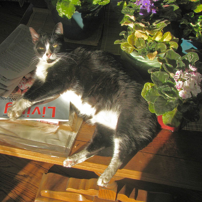 Miss Ivy with African violets