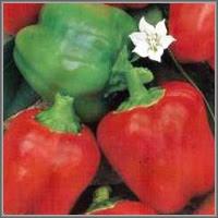 Сладкий перец сорт «Филиппок»