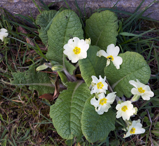 Primroses (Primula vulgaris), single plant in flower