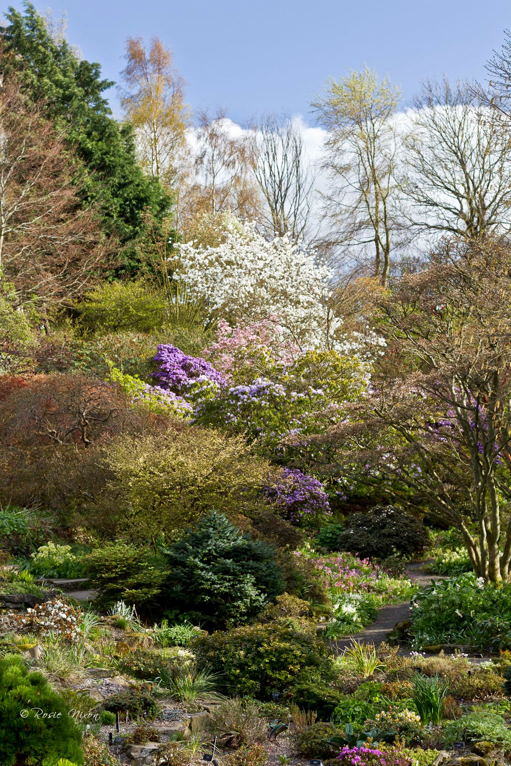 Branklyn garden in April with the rhododendron colours