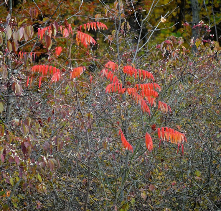 Incredible color of autumn is easily found on a Staghorn Sumac tree.