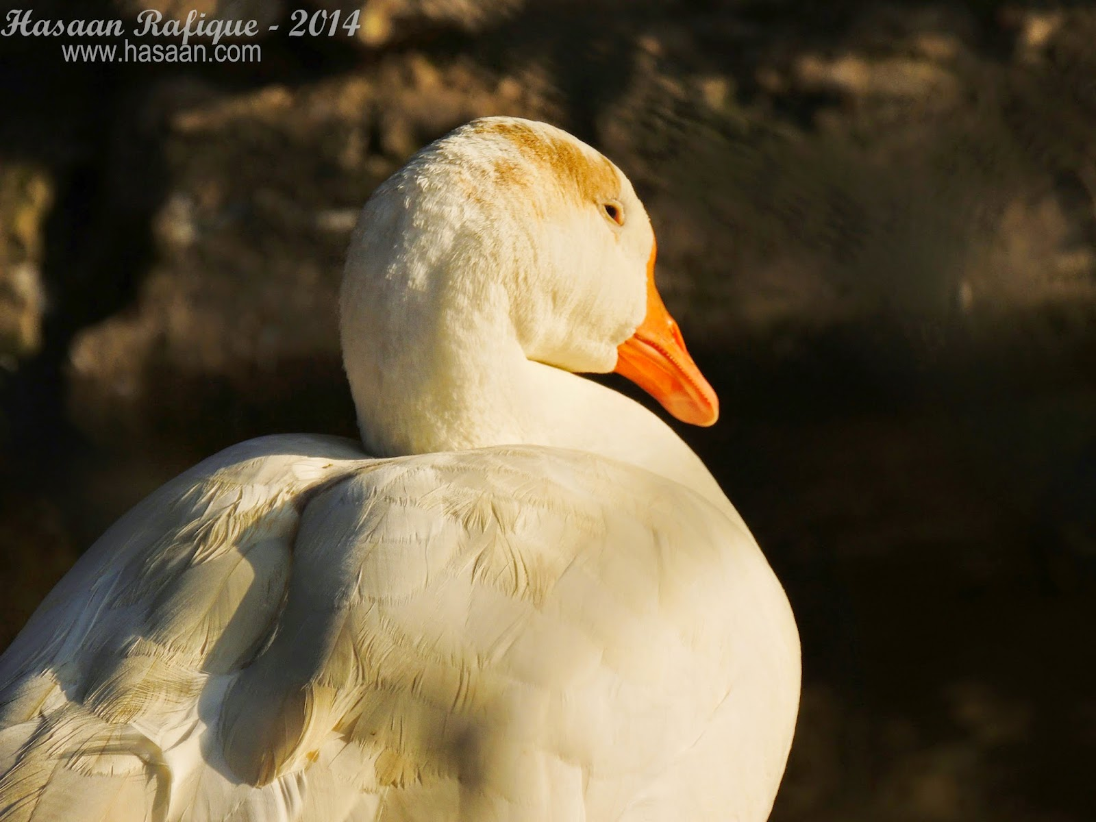 Duck; close up :)
