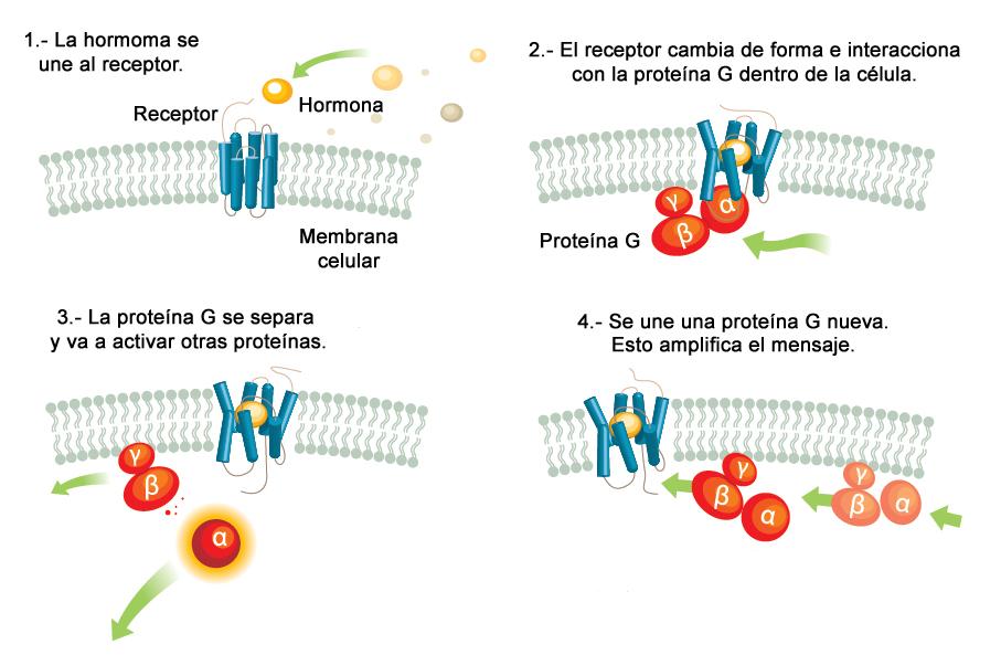 Mecanismo de acción de los GPCR