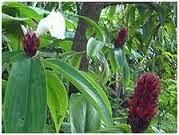 Jual macm-macam pohon pacing | pacing pentul | pacing gunung | pacing bulu | aneka tanaman | jasa desain taman