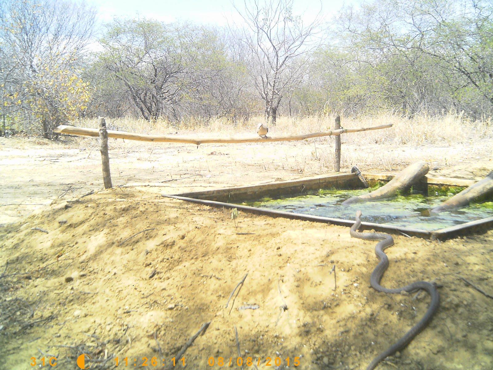 A cobra de cipó bebendo água