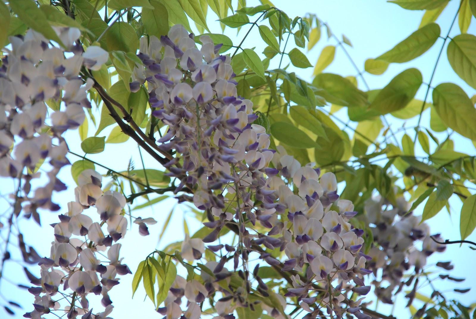 Giardino metropolitano piante rampicanti il glicine for Piante da frutto rampicanti