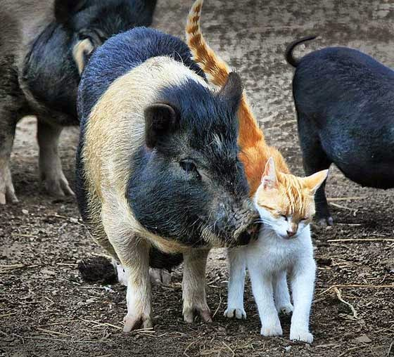 animal friendship: pig and cat