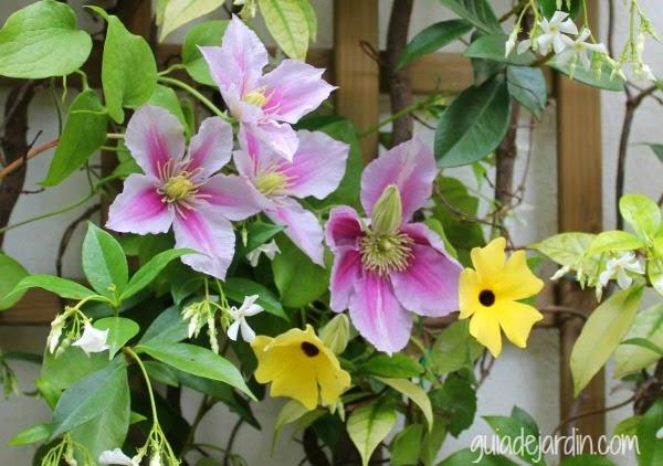 Clematis Piilu, Trachelospermun Jasminoides y Thumbergia Alata