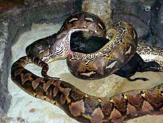 Foto-Foto Seekor Ular Anaconda Sedang Berjuang Menelan Babi Hutan Bulat-Bulat