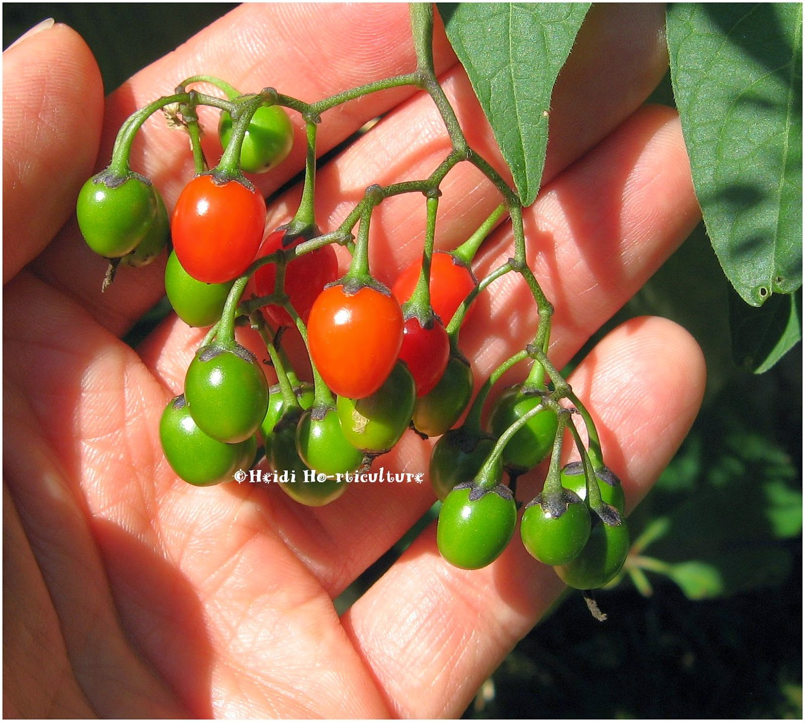 heidi horticulture poisonous berries in your garden backyard