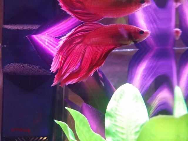 My new beta fish